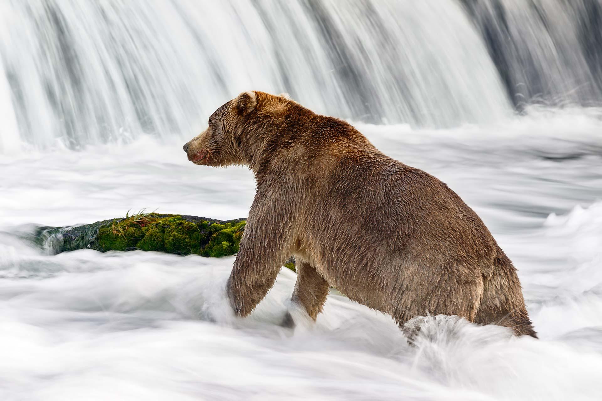 Alaskan Brown Bear by Tim Plowden