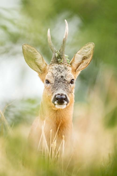 Roe Deer by Tim Plowden