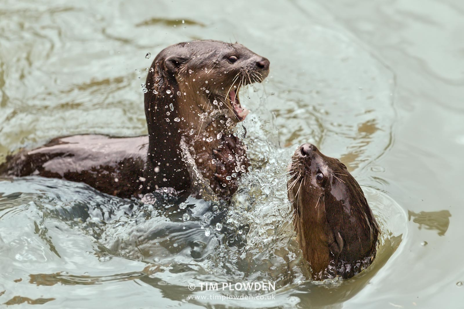 smooth coated otter swimming
